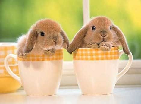 deux lapins dans deux petites tasses